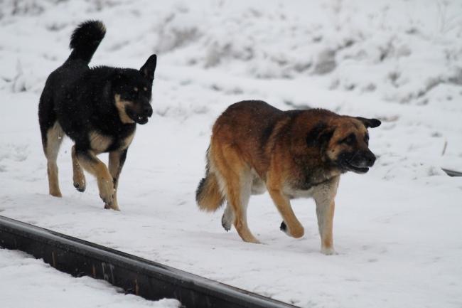 Стая бродячих собак изувечила девочку вМагадане