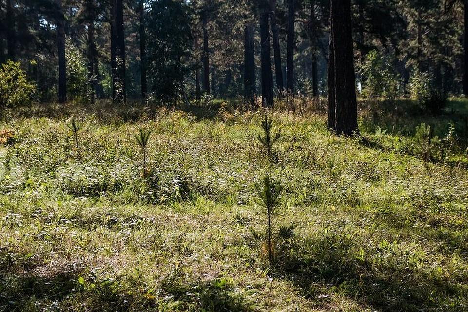 Посадка деревьев пройдет вКайской роще 21мая
