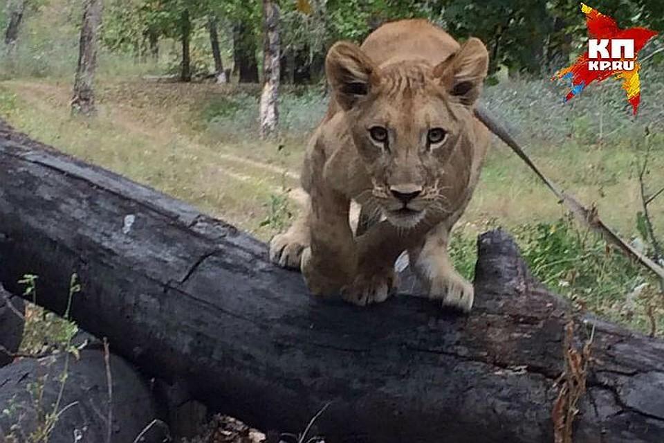 Владельцы бросавшейся налюдей львицы неоткрыли дверь проверяющим