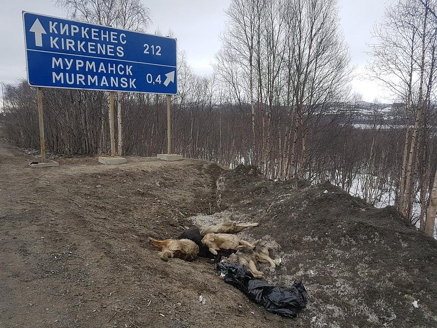 Очередная свалка трупов собак найдена вМурманске