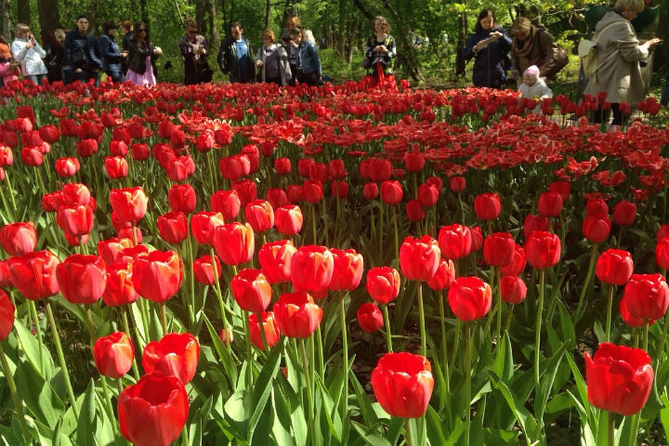 ВПетербурге вДень города открылся фестиваль тюльпанов