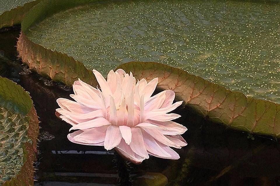 Цветок эльфов распустился в«Аптекарском огороде»