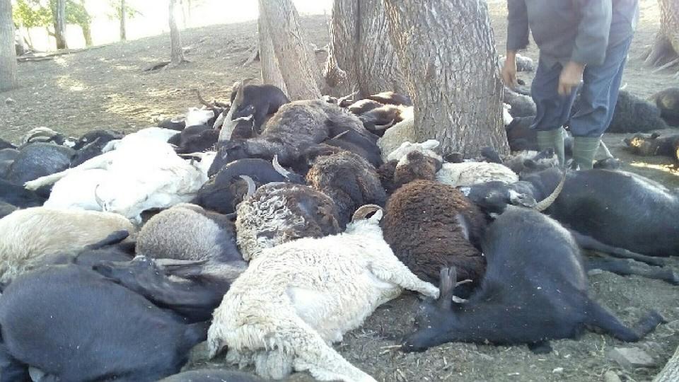 ВБашкирии молнией убило стадо овец икоз