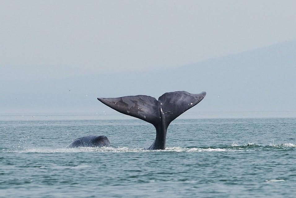 ВХабаровском крае вустье реки застрял 13-метровый кит