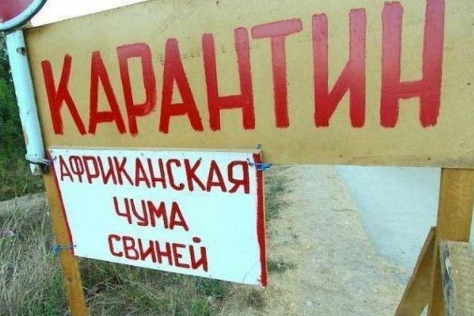 Чума свиней охватила треть Омской области и угрожает выплеснуться заеепределы