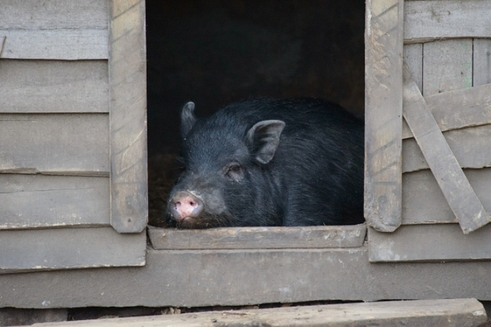 Ветеринары Зауралья продолжают работать врежиме повышенной готовности из-за чумы свиней