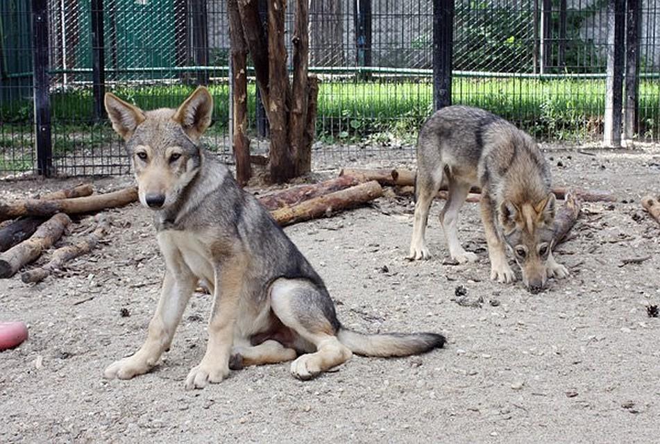 Челябинцы выдумали «боевые» клички для новорожденных волчат