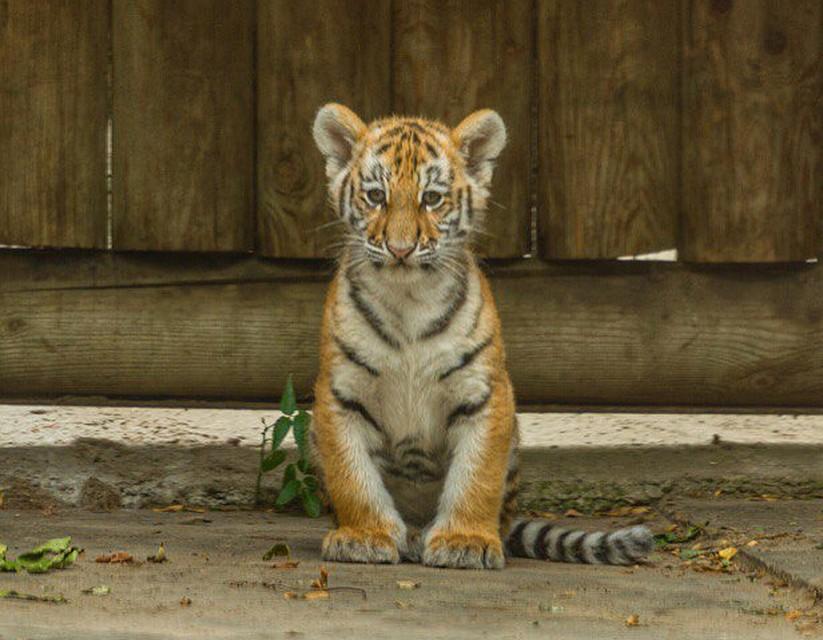 Как скажут ростовчане, так ибудет: выбираем имя тигрёнку