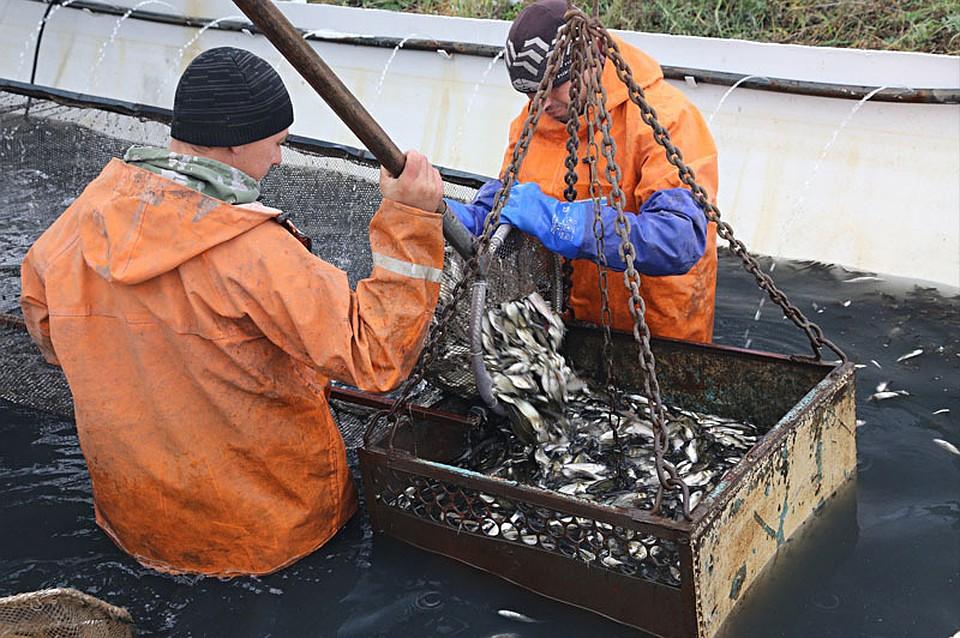 ВВоронежское водохранилище выпустили неменее 1,4 млн толстолобиков