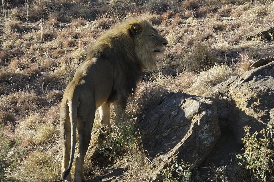 Власти Кении обвинили геев-туристов вгомосексуализации львов
