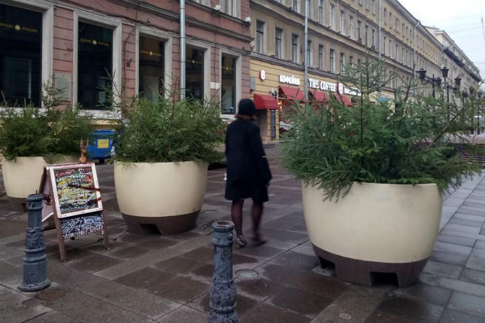 Петербург украсят неменее 4 тыс. живых ёлок