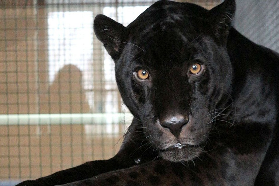 Вкрасноярский зоопарк изцирка приехал ягуар-меланист