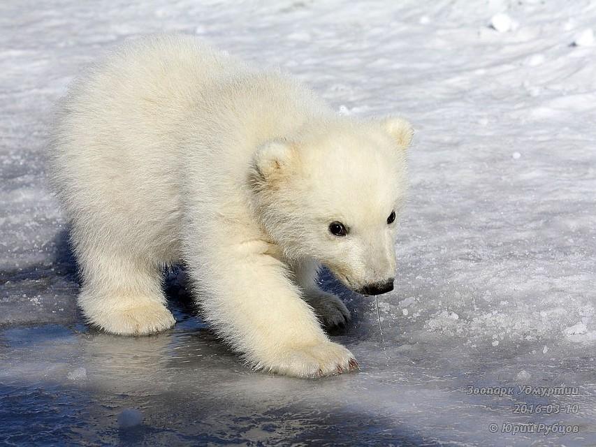 Полярный медвежонок родился взоопарке Ижевска