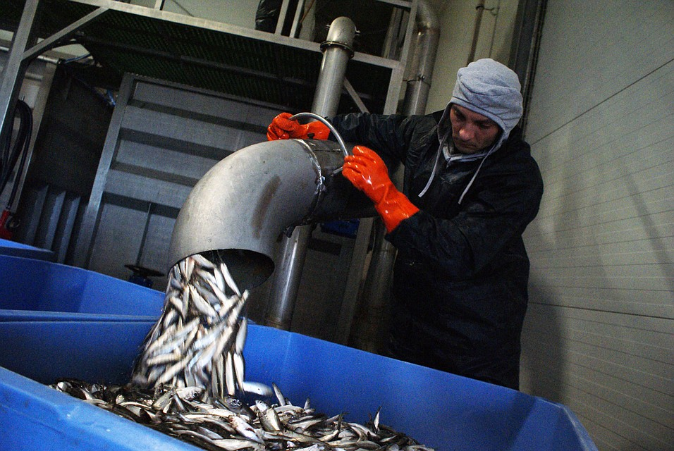 Рыболовы Калининградской области выловили загод 300 тыс. тонн рыбы