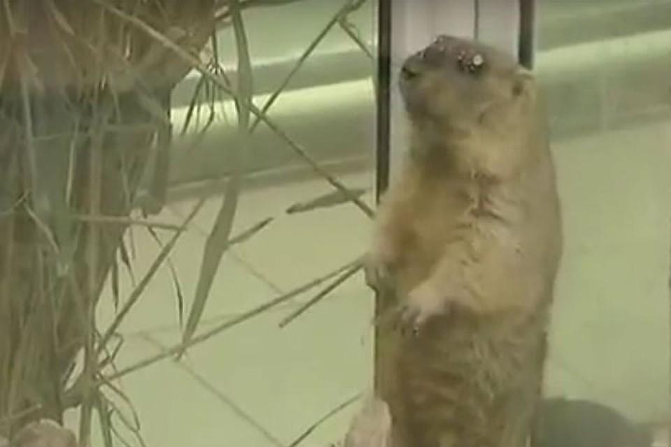 Сурки изстоличного зоопарка проспят День сурка