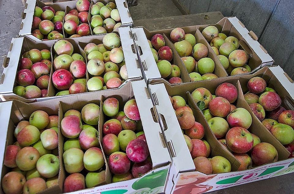 Китайские производители начали поставки яблок в Российскую Федерацию и республику Белоруссию