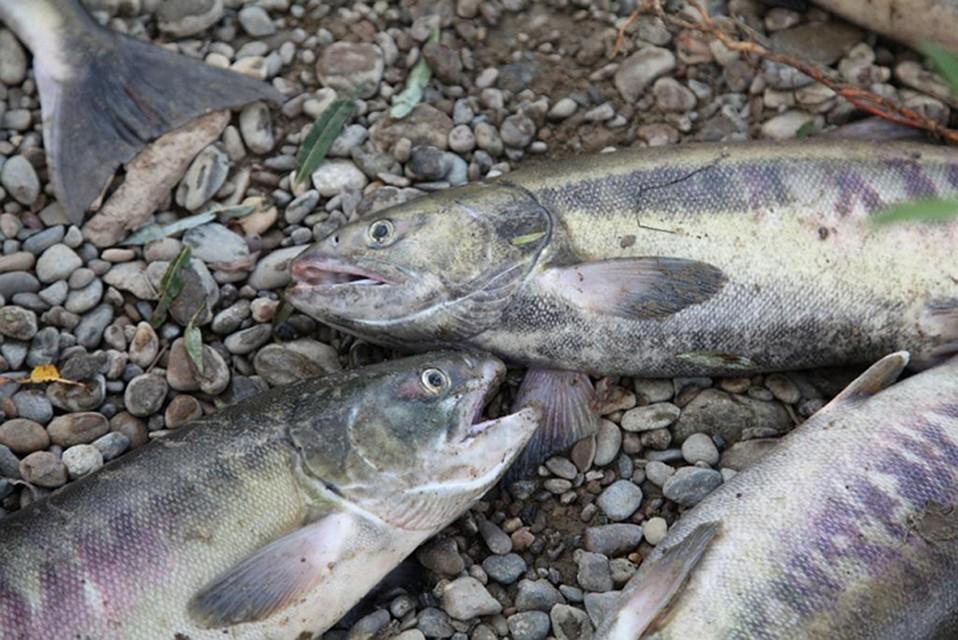 Хабаровских браконьеров осудят закрупный нелегальный вылов лососевых