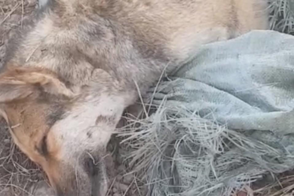 ВХабаровском крае живодеры убили иизуродовали неменее 20 собак