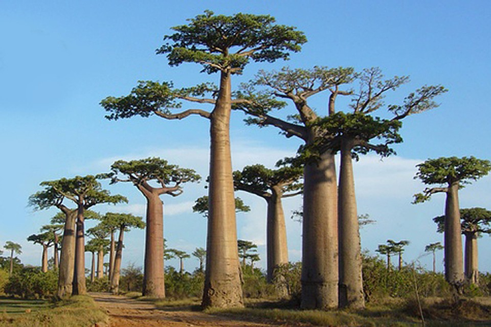 ВАфрике погибают  тысячелетние баобабы. Ученые непонимают обстоятельств