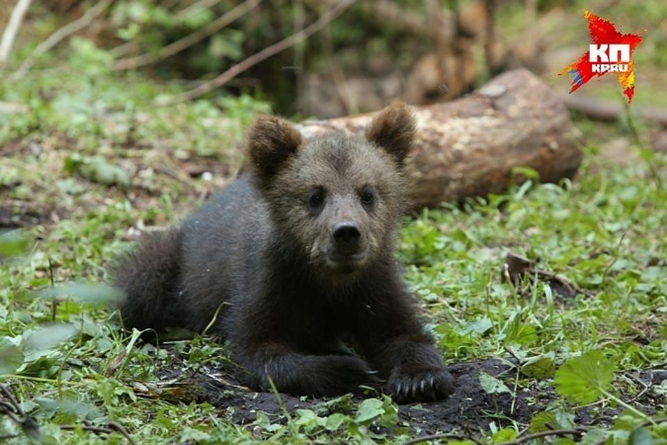ВПодмосковье возросло число бурых медведей