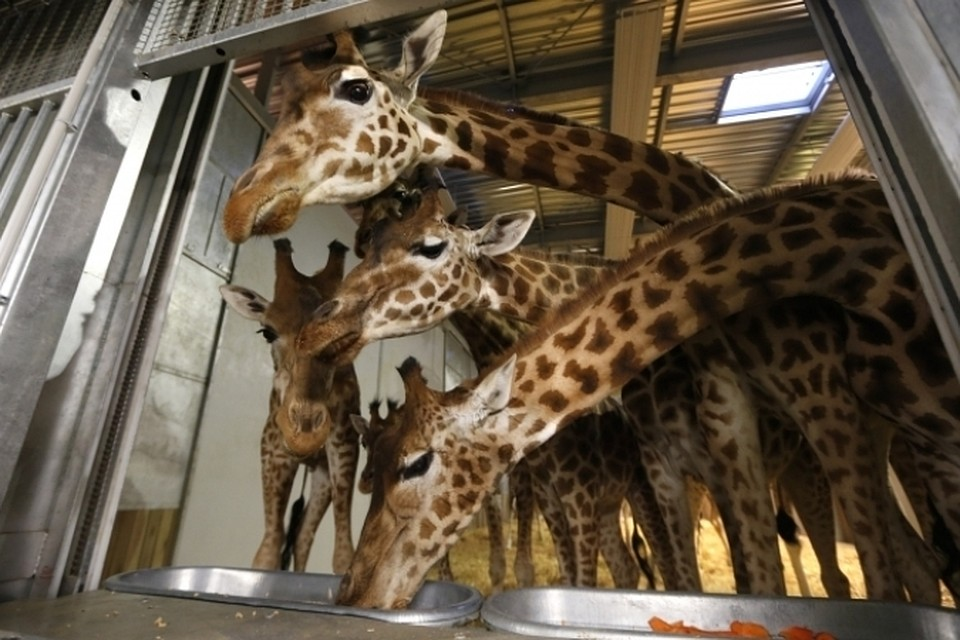 Администрация зоопарка утверждает, что его убийство Мариуса предусмотрено европейской программой разведения жирафов
