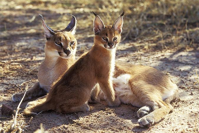 В средние века в Азии и на Ближнем Востоке с ручными каракалами охотились на зайцев, фазанов, павлинов и мелких антилоп.