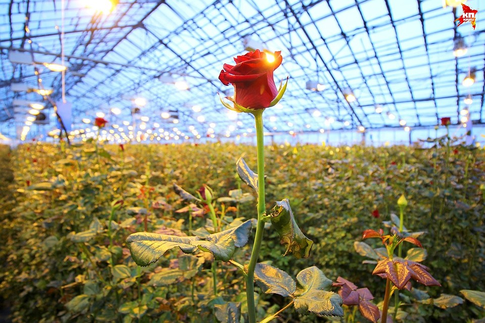 Выращивание роз для бизнеса 60