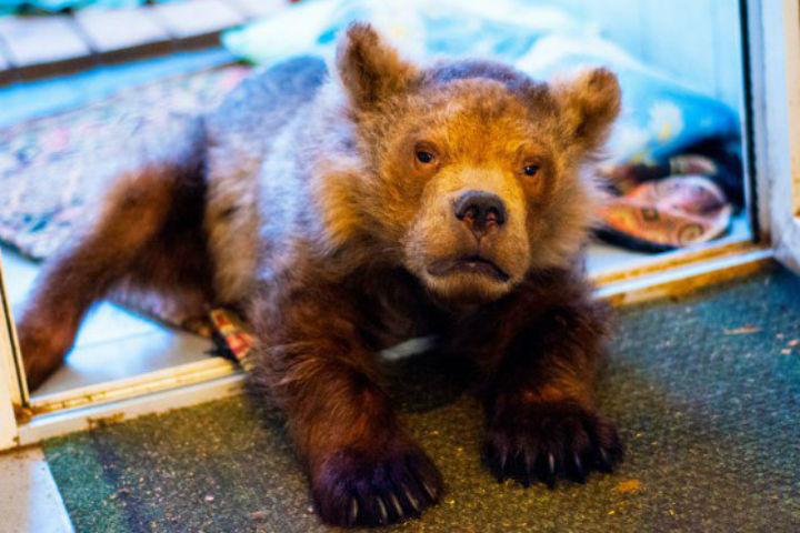 Медвежонок Сеня долго боролся с болезнями Фото: new.vk.com/veles_spb