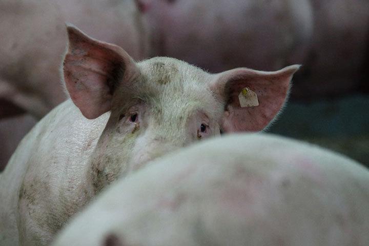 ВВоронежской области выявлен очаг африканской чумы свиней