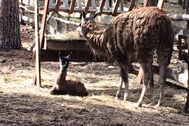 Вворонежском зоопитомнике «Червленый Яр» упары лам родился детеныш