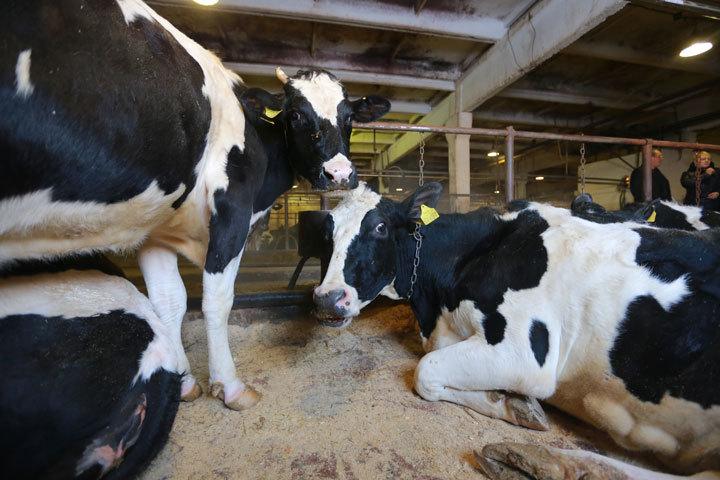 Воронежская область стала лидером вРФ потемпам роста производства молока