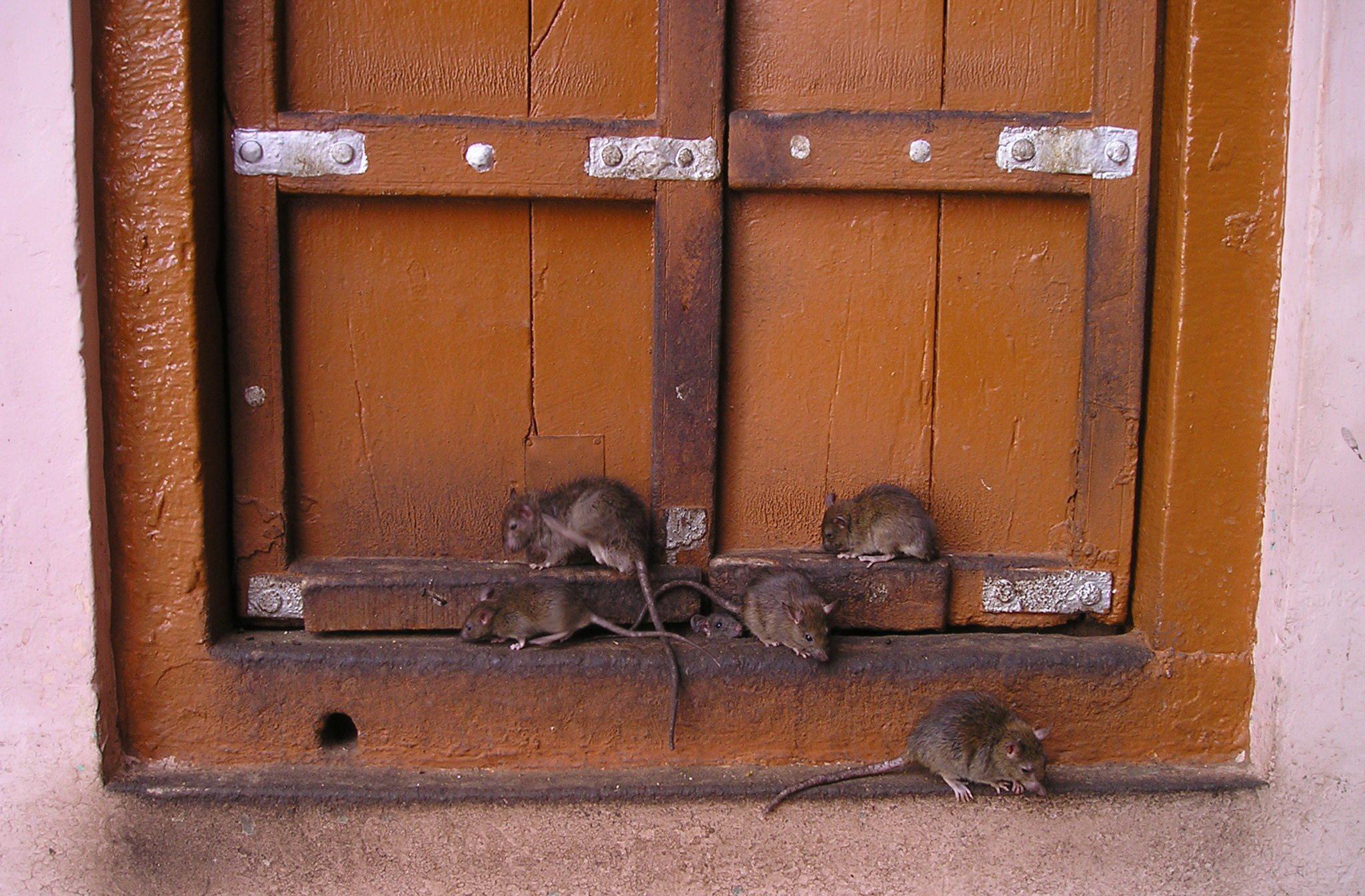 В минской Малиновке крысы напали на собаку Фото: pixabay.com