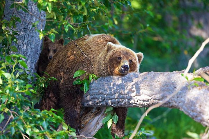 Жители Сигулды наблюдали необычную картину - на макушку одного из деревьев забрался медведь. Фото с сайта prophotos.ru