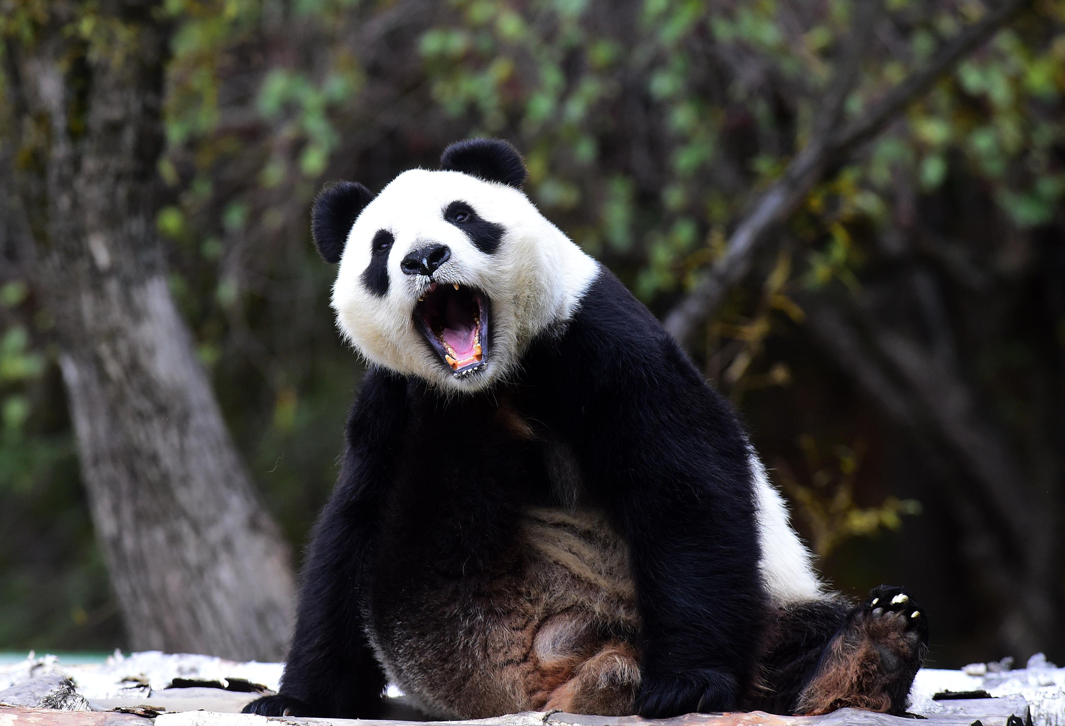 Скончалась самая старая панда, жившая вневоле