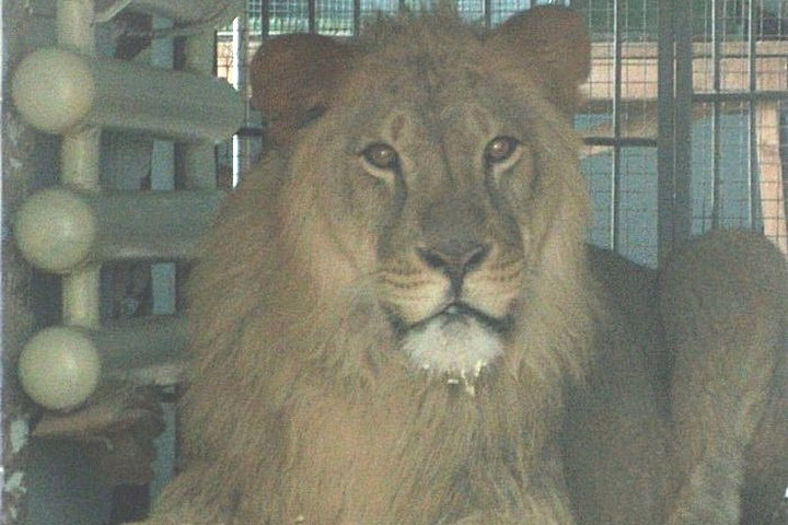 Взоопарке Воронежа поселился двухлетний лев изПензы