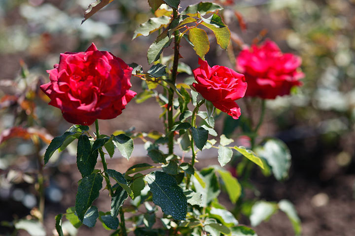 ВЧеркесске зацвели розы исирень