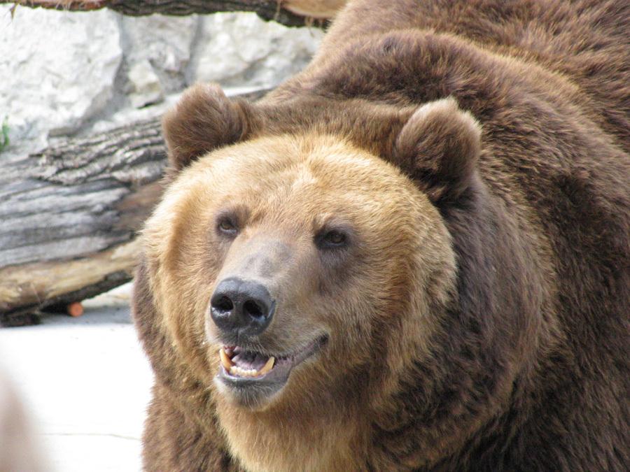 Ученые узнали, что медведи наТаганае стали вегетарианцами