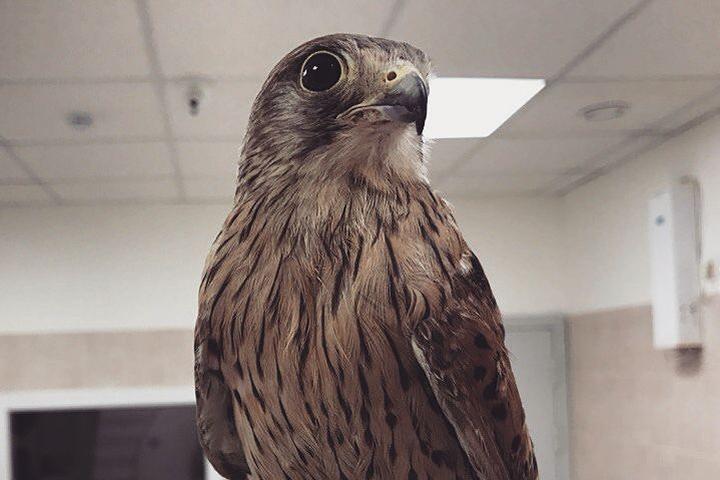 Пустельге уже сделали томографию, чтобы определить, каких размеров понадобятся ей протезы. Фото: предоставлено ветеринарной клиникой «Бэст»