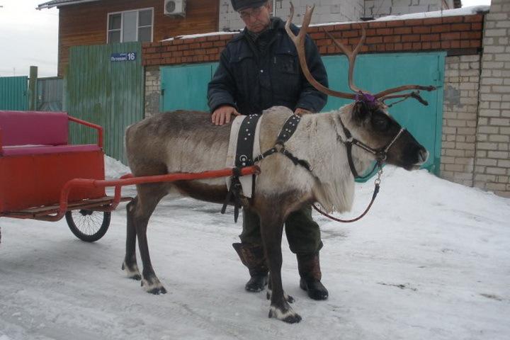 Содержание северного оленя обойдется минимум 5 тысяч рублей в месяц. Фото пользователь Денис, Avito.ru