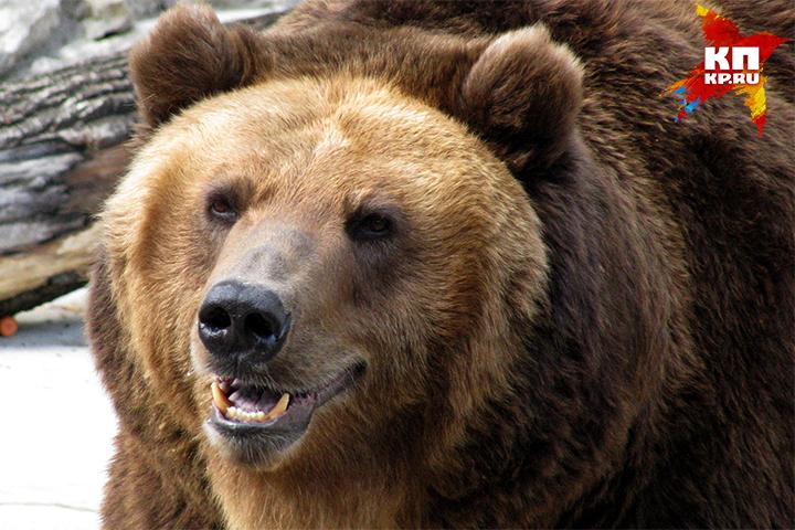 Медведь уже впал в спячку из-за того, что холода в стране наступили непривычно рано