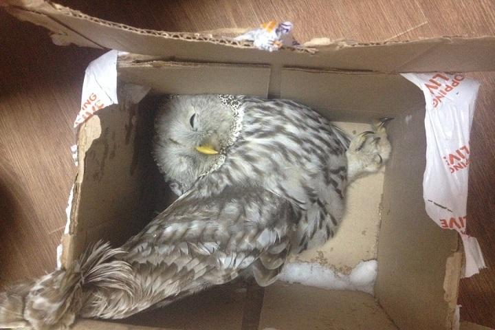 ВНовосибирске выбросили всугроб раненую сову
