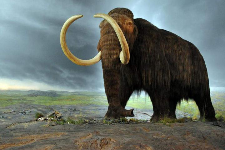 Мамонты прожили порядка 140 тысяч лет. Они были намного крупнее современных слонов и имели длинную шерсть