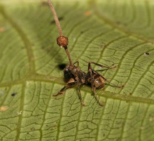 Перед тем как убить муравья, гриб отправляет его на нижнюю сторону листа