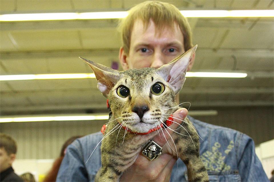 Согласно исследованию, в России самая большая доля владельцев котов в мире.