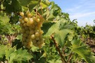 Испытано на себе: Как я собирала виноград в Крыму