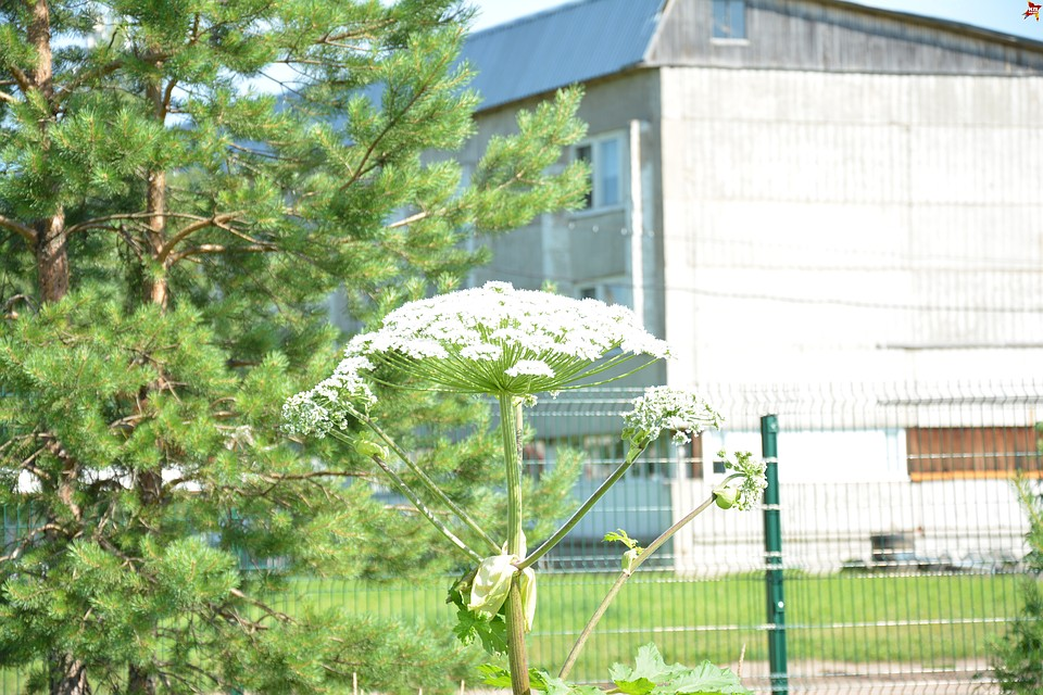 Двое воспитанников школы-интерната №15 в Пажге получили ожоги после рубки борщевика