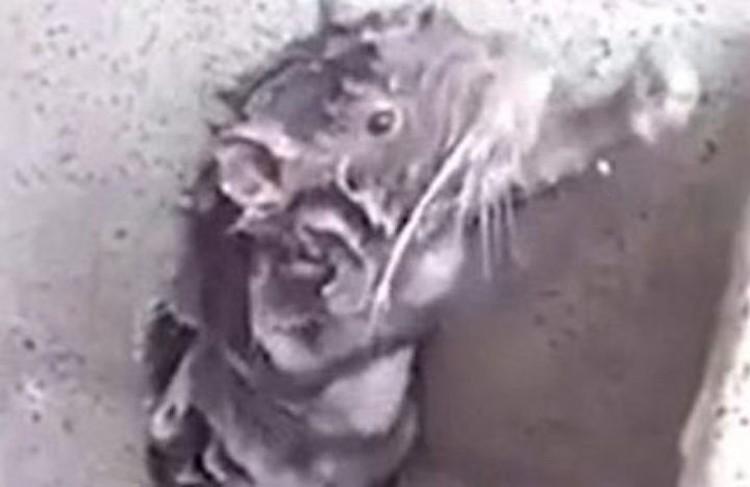 """Оказалось, что грызун на видео вовсе не """"моется с мылом"""", а пытается избавиться от пены"""