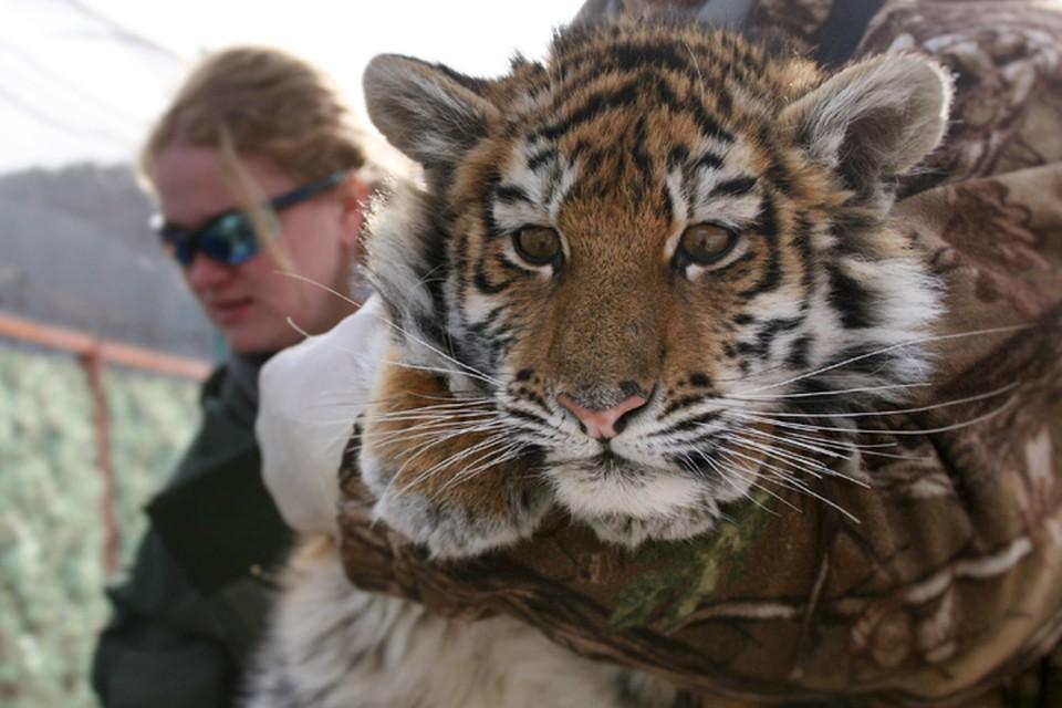 Осиротевшая Филиппа попала к людям пятимесячной – в Центре реабилитации ее спасли от гибели. Фото: МРОО «Центр тигр»