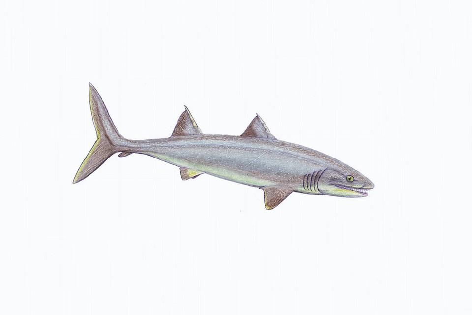 Примерно так выглядели древние акулы. Фото: spbu.ru