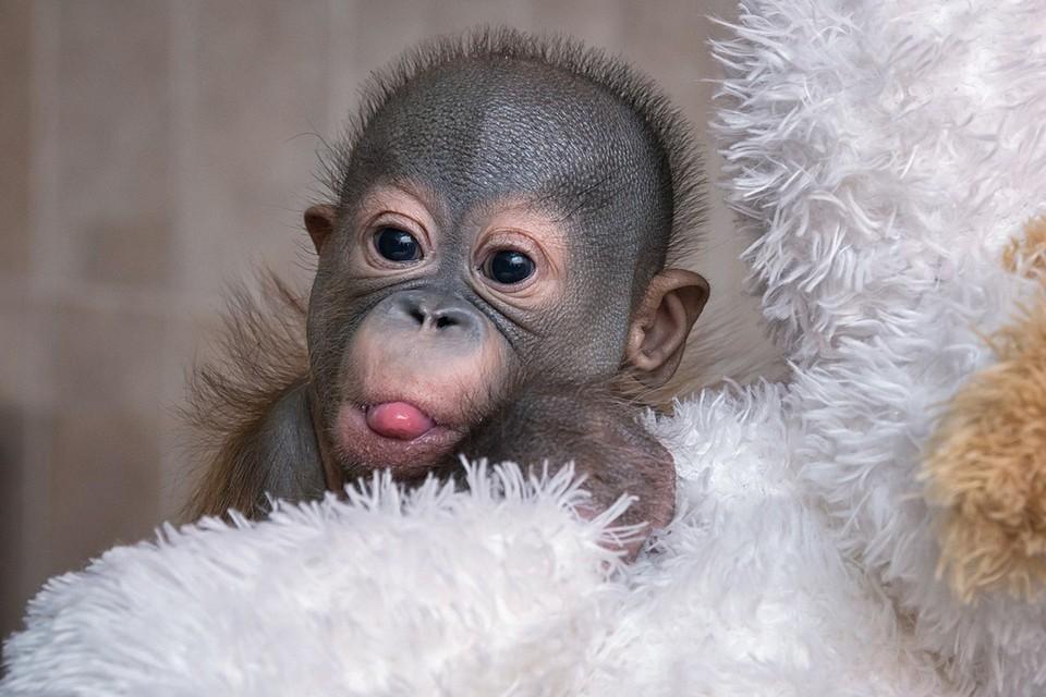 Малыш орангутана попал в заботливые руки новосибирских врачей. Фото: Андрей ПОЛЯКОВ.